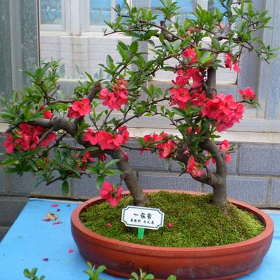 3棵包邮 海棠花盆栽庭院阳台绿植花卉西府 垂丝海棠日本贴梗海棠