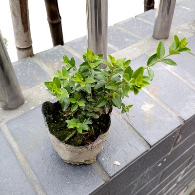 常绿灌木图片