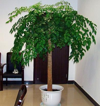 大幸福树大型植物客厅办公室盆栽绿宝观叶盆景幸福树