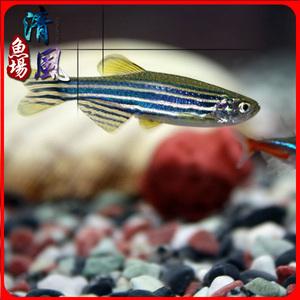 蓝斑马原生斑马鱼低温耐活热带活体鱼小型鱼水族观赏鱼包邮包活