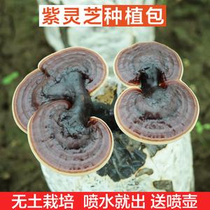 紫靈芝菌包 菌種 靈芝盆景 活體靈芝觀賞食用家庭室內種植包出