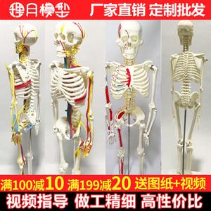 人體骨骼模型骨架 帶肌肉可拆卸脊椎脊柱1:1醫學小白全身仿真美術