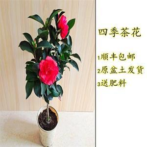 。四季茶花重瓣开花不断大红文清七心盆栽阳台庭院好养易活树苗包