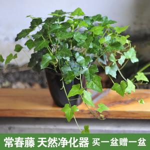 常青藤植物盆栽