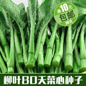 柳叶80天迟菜心蔬菜种子菜籽晚熟油绿菜心菜种子抗病高产苔粗易种图片