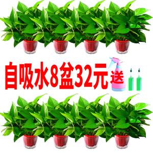 绿萝盆栽室内净化空气吸除甲醛花卉吊?#21450;?#20844;室绿植物水培长藤绿箩