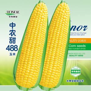 中农甜488牛奶香超甜水果玉米种子冰糖脆糯四季春种?#36874;?#36716;基因孑