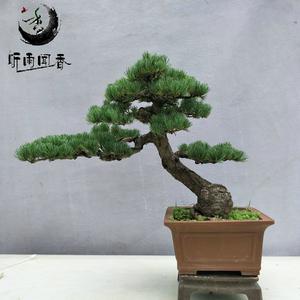 五针松盆景 日本矮姬大阪松树桩盆栽树苗 室内庭院高档植物