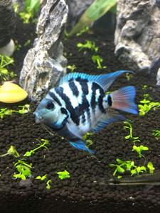 宝蓝迷你鹦鹉鱼白金台系迷你鹦鹉对鱼种鱼包邮包活报损自己繁殖