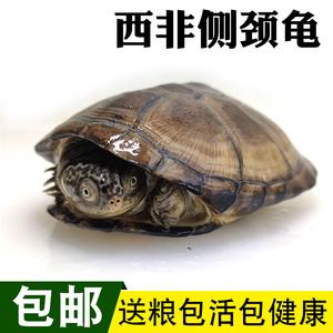 烏龜西非龜活體寵物龜呆萌深水龜沼澤側頸龜苗活物熱帶觀賞龜包郵