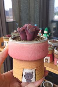 【记录】紫色风铃玉肉锥配美小miso 非c10大红红大紫红风铃