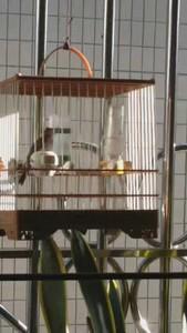 活體寵物鳥澄海蓮下出售一只大唱人工灰燕,很純叫口好還多聲音清