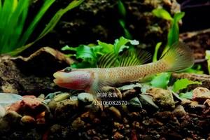 原生观赏鱼 冷水鱼 星条旗神农虾虎鱼 活体?#34892;?#40060;(颜色有不同)