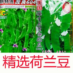 大莢荷蘭豆種子 菜豌豆甜脆嫩 紅花荷蘭豆 陽臺園藝秋播蔬菜種子