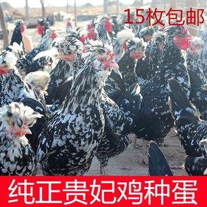 纯正贵妃鸡种蛋受精蛋高产土鸡种蛋受精卵可孵化小鸡蛋15枚包邮