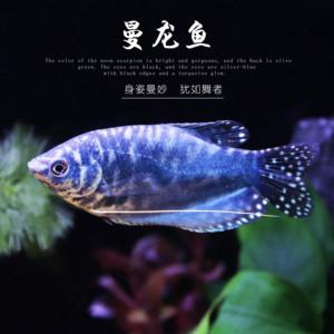 黄色曼龙鱼活体蓝色曼龙热带观赏鱼中小型鱼宠物鱼淡水鱼