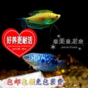 蓝曼龙鱼活体黄金万龙鱼小型热带淡水观赏鱼曼龙鱼不用充氧的包邮