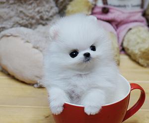 纯种博美犬 俊介犬 茶杯犬 泰迪犬 袖珍犬博美狗 泰迪狗 博美幼犬