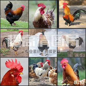 超大超高清图片公鸡雄鸡家鸡家禽类大自然鸡类动物美工设计ps素材