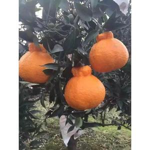 四川丑橘丑桔树苗不知火柑春见丑八怪粑粑柑树苗椪柑苗橘子苗盆栽