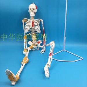 85CM人體骨骼帶全身肌肉起止點 骷髏骨架 教學醫學 醫患溝通模型