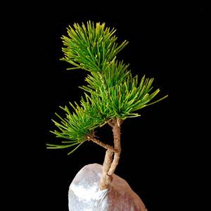 五针松盆景嫁接苗正宗瑞祥短针矮霸盆栽阳台绿植物日本大阪五针松