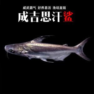 虎鲨淡水鲨鱼成吉思汗鲨活体凶猛鱼大白鲨白化鲨底层鱼观赏鱼活体