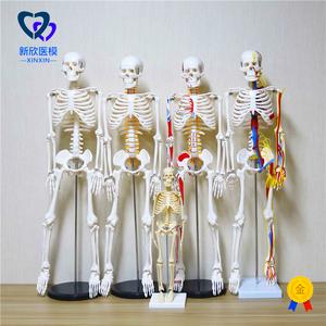 醫學人體骨骼模型骨架帶肌肉仿真玩具小白全身真人可拆卸正骨醫用