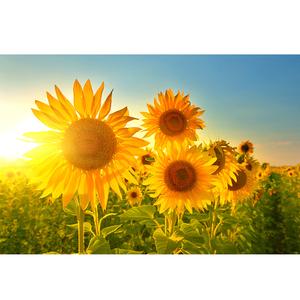 唯美风景画向日葵贴画太阳花阳光自然美景图现代居家装饰墙画定制