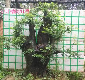 小叶榆树桩盆景