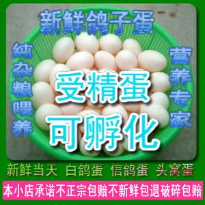 新鲜受精鸽子蛋 观赏鸽受精蛋种蛋 信鸽蛋  ?#23376;?#29579;鸽食用 可孵化