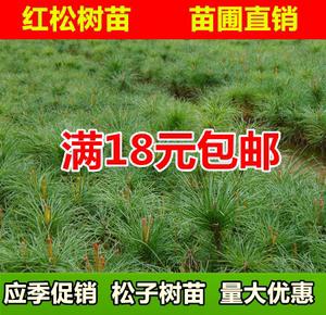 松子树五针松紅松樹苗 坚果 结果松树苗 果松苗 绿化四季常青苗木
