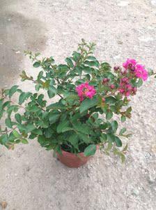 矮紫薇院内花卉庭院室外花卉?#21442;?#22235;季易活户外观花?#21442;?#30702;生花园