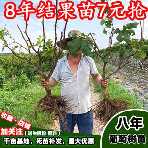 正宗台湾嘉宝果苗树葡萄苗 沙巴四季嘉宝果树葡萄树苗?#36141;?#26524;树苗