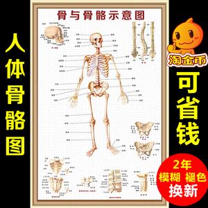 人体骨骼图大挂图肌肉解剖图器官结构图穴位医学骨科全身挂画图片