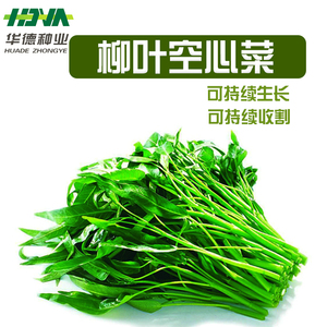 泰国柳叶空心菜种子通心菜青菜空芯菜夏季四季阳台盆栽蔬菜籽包邮图片