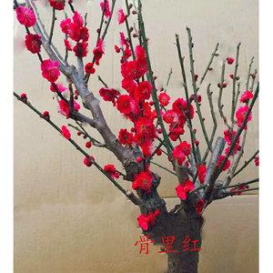 中国十大名花盆栽
