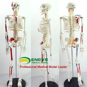 進口正品頤諾醫學人體骨骼解剖肌肉脊柱神經可彎曲拆卸瑜伽架模型