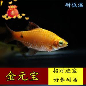 金光灯鱼活体金鱼灯金元宝小型鱼热带鱼观赏鱼灯科鱼耐低温包邮鱼