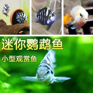 迷你鹦鹉鱼宝蓝\白金鹦鹉 玩家繁殖观赏鱼活体热带鱼草缸淡水宠物