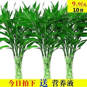 ?#36824;?#31481;水培植物盆栽绿植花卉室内花客厅水养绿萝大叶转运竹节节高