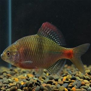 鳑鲏魚活體西南鳑鲏越南鱊包郵冷水觀賞魚旁皮魚原生魚火山鳑鲏
