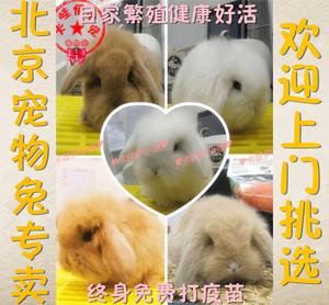 宠物小兔兔活体活物纯种长毛荷兰垂耳兔宝宝折耳兔子活体免费免疫