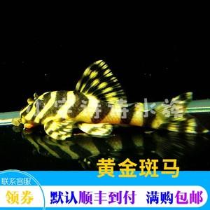 黄金斑马鱼/异型鱼/观赏鱼/热带鱼/工具鱼/除藻/贵族清道夫鱼