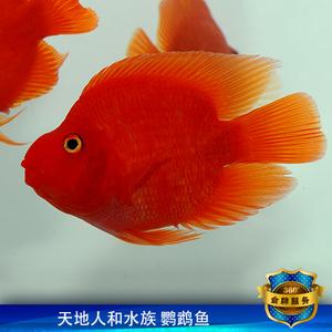 保红血鹦鹉鱼元宝鱼苗发财鱼招红财神鱼风水鱼热带鱼观赏鱼包活体