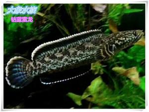 觀賞魚-原生魚-鱧科-雷龍魚-蛇頭魚-鈷藍雷龍 (現貨)