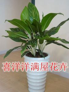白雪公主白馬王子盆栽白柄粗肋草可觀葉綠植四季常青凈化空氣包郵