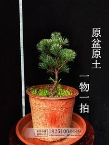 日本五針松苗嫁接五針松小苗短針五針松盆景大阪五針樹苗一物一拍