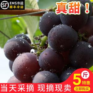 浦江巨峰葡萄新鲜当季孕妇水果非无籽提子马陆葡萄5斤大黑巨丰甜