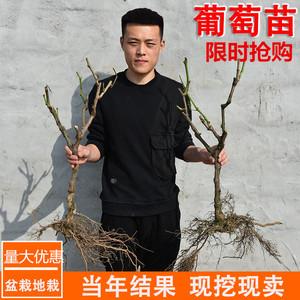 正宗嘉宝果树苗台湾树葡萄红妃四季早生沙巴大嘉宝果种植地栽盆栽